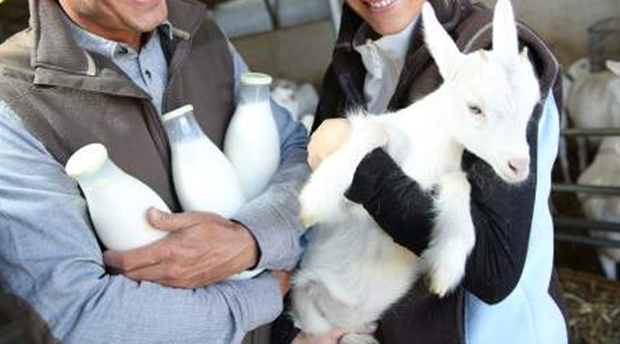 Milking Stats For Dairy Goat Breeds